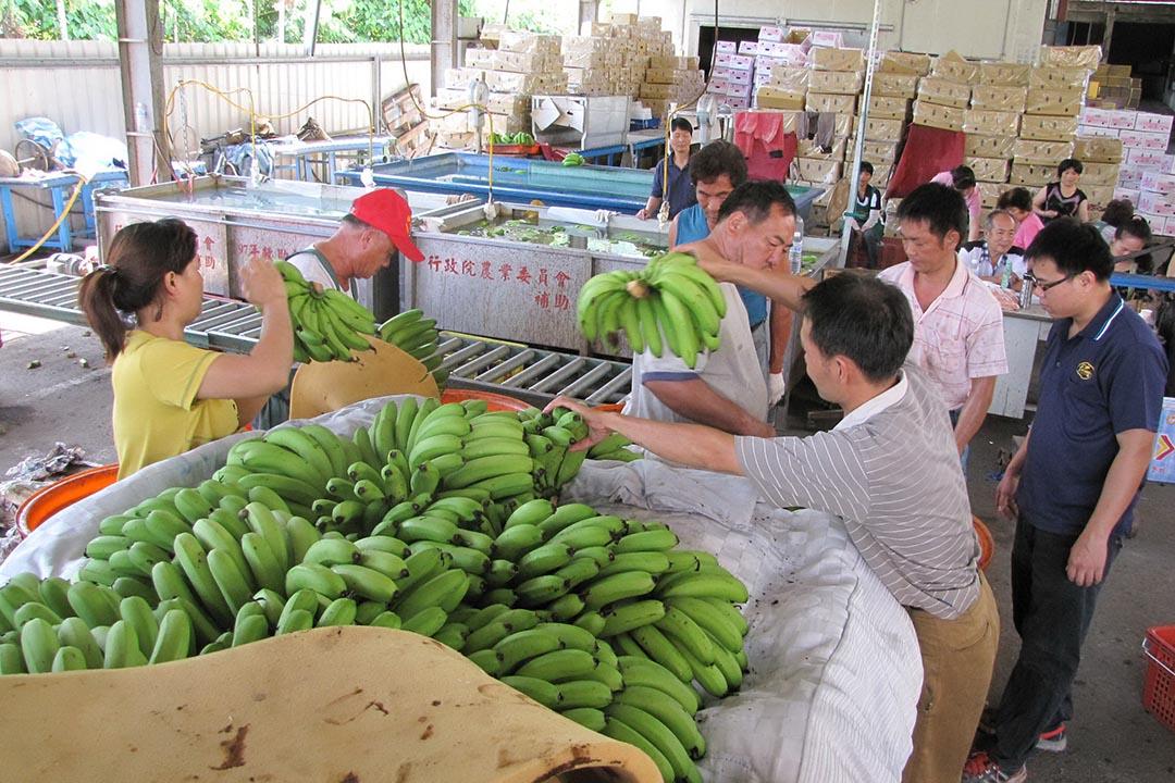 蕉農把採收下來的香蕉交付給農會。