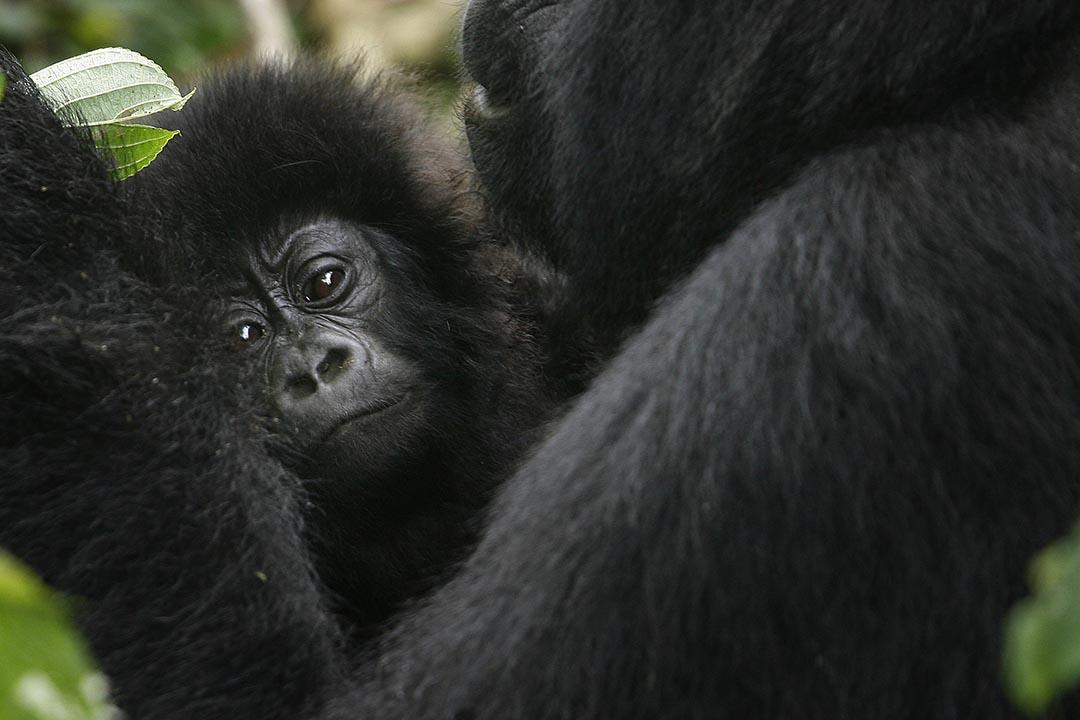 東部大猩猩遭狩獵濫殺列極危。