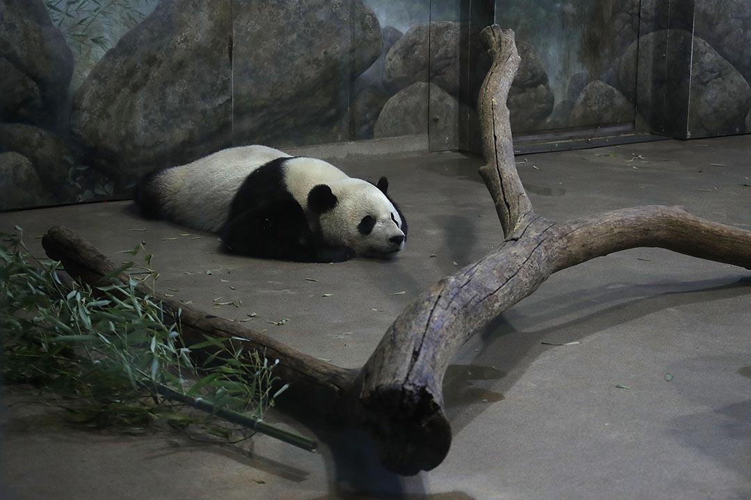 大熊貓不再是瀕危動物,全球數目回升近二千隻。
