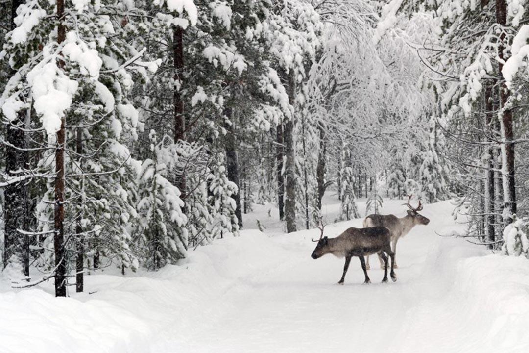 芬蘭伊納里的森林。