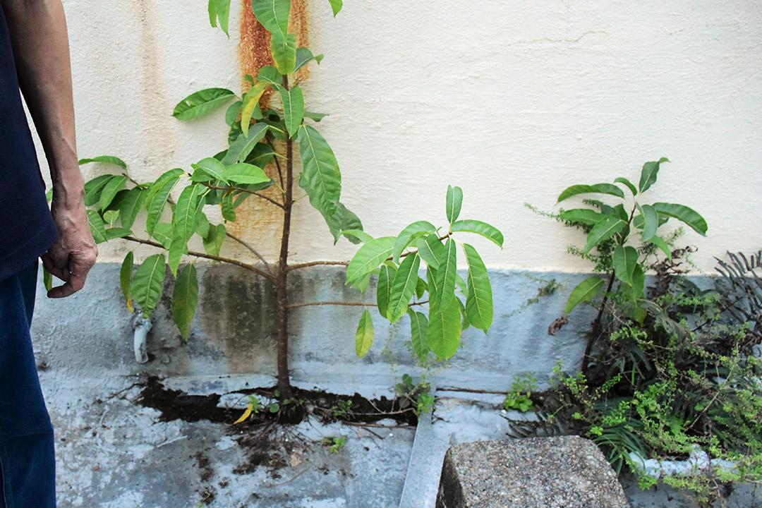 有收樓商在唐樓天台鑿地播種,讓植物從裂縫中成長,破壞天台的防水層。