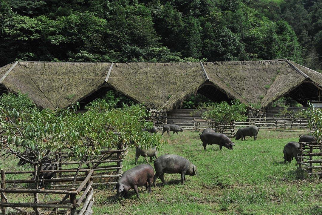 浙江省臨安市太陽公社的豬舍。