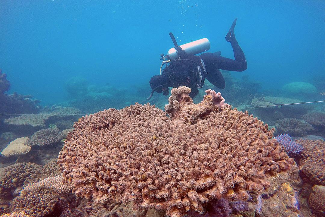 澳洲珊瑚礁卓越研究中心公布,受災最嚴重的是北部地區,已有67%珊瑚死亡。
