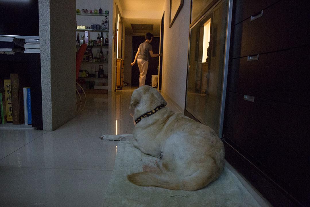 從日本來台成為導盲種犬的Dano,3年前正式退休,牠的寄養家庭成為收養家庭。