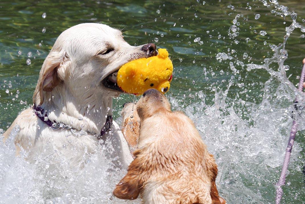 導盲犬游泳訓練。