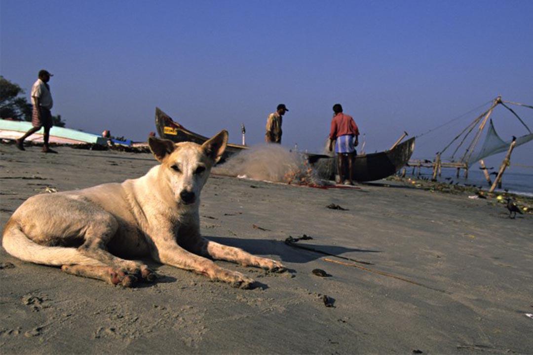印度喀拉拉邦,一隻狗在海灘休息。