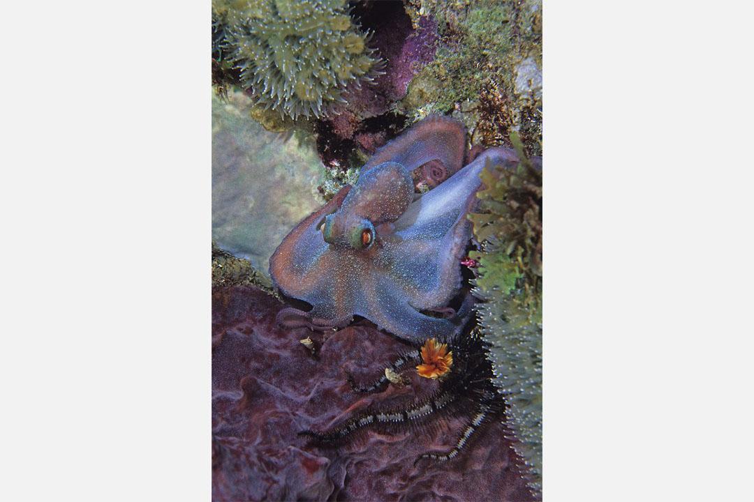 侏儒魷魚。