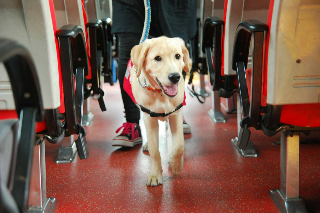 正在進行公車訓練的狗狗。