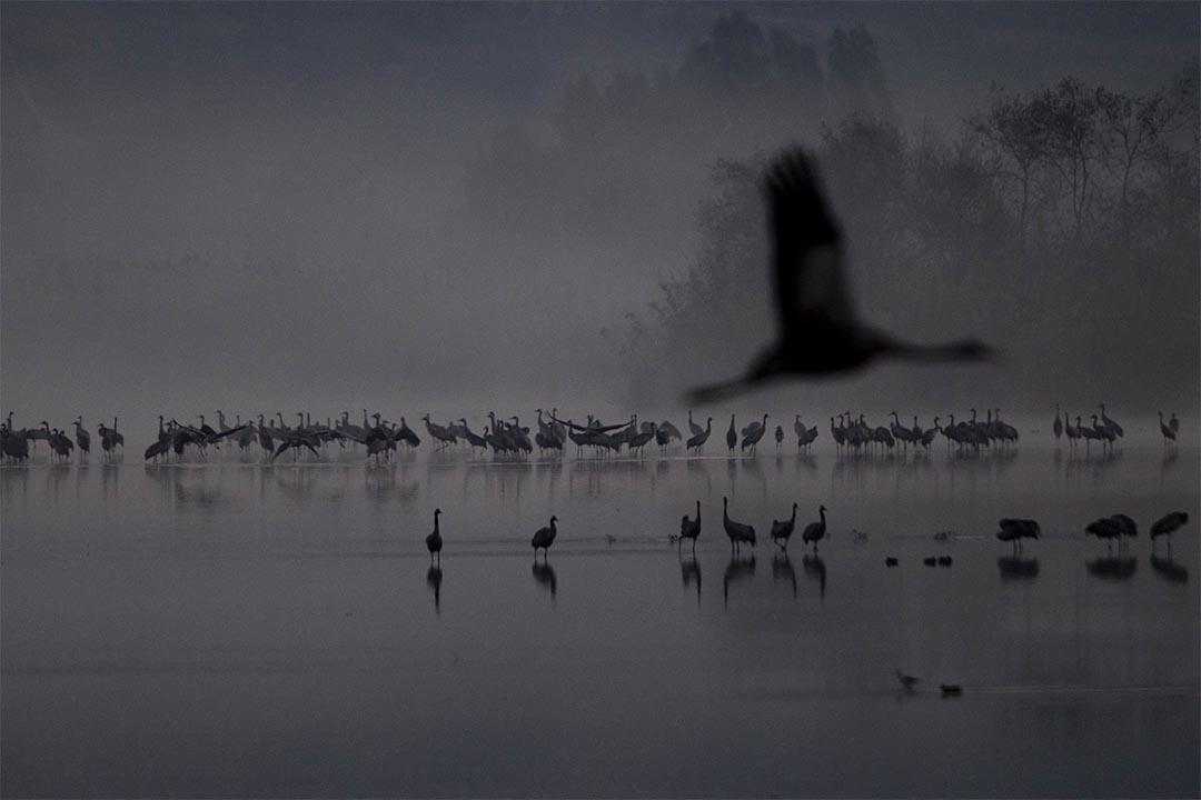 2016年12月7日,以色列,一群候鳥飛過胡拉湖保育區。