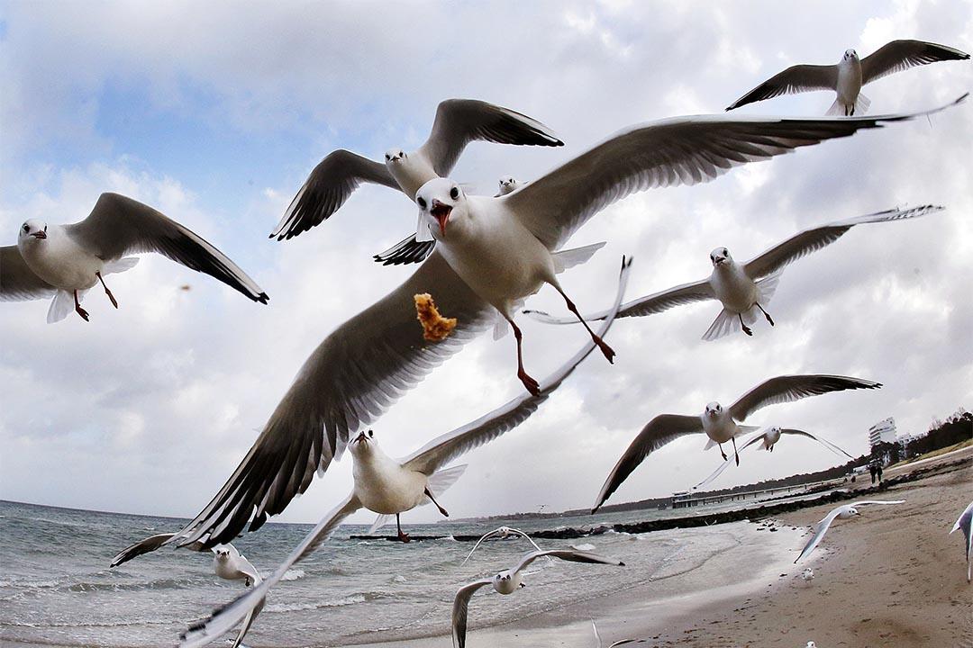 氣候變化驅使鳥類過早遷徙,或會錯過部分食物。圖為2016年12月27日,德國,一群海鷗飛過沙灘。