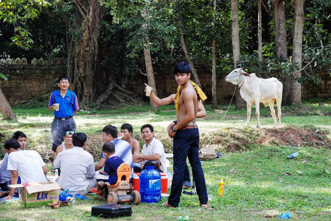 柬埔寨的牛都很瘦。