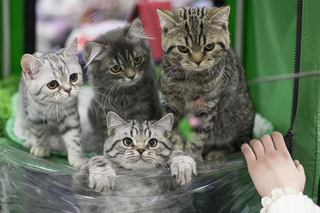 2016年12月4日,俄羅斯莫斯科貓展上,四隻貓站在籃子裡。