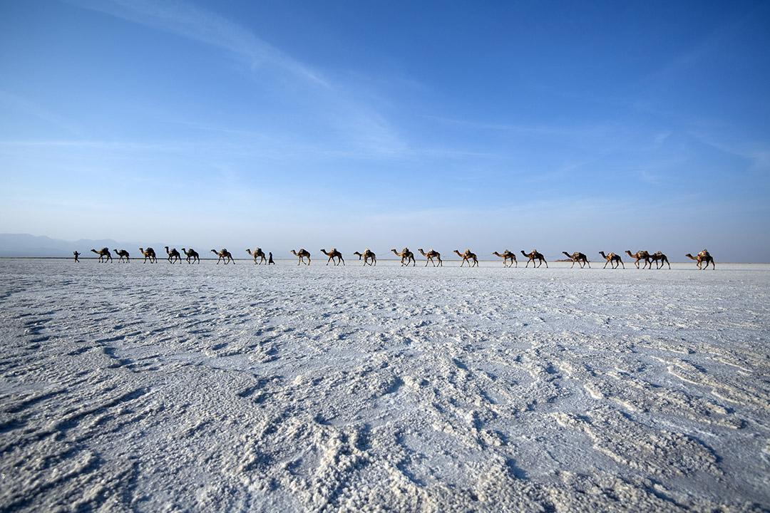 2017年1月22日,埃塞俄比亞達洛爾,當地人帶領駱駝商隊於Danakil 低窪平原附近開採鹽。