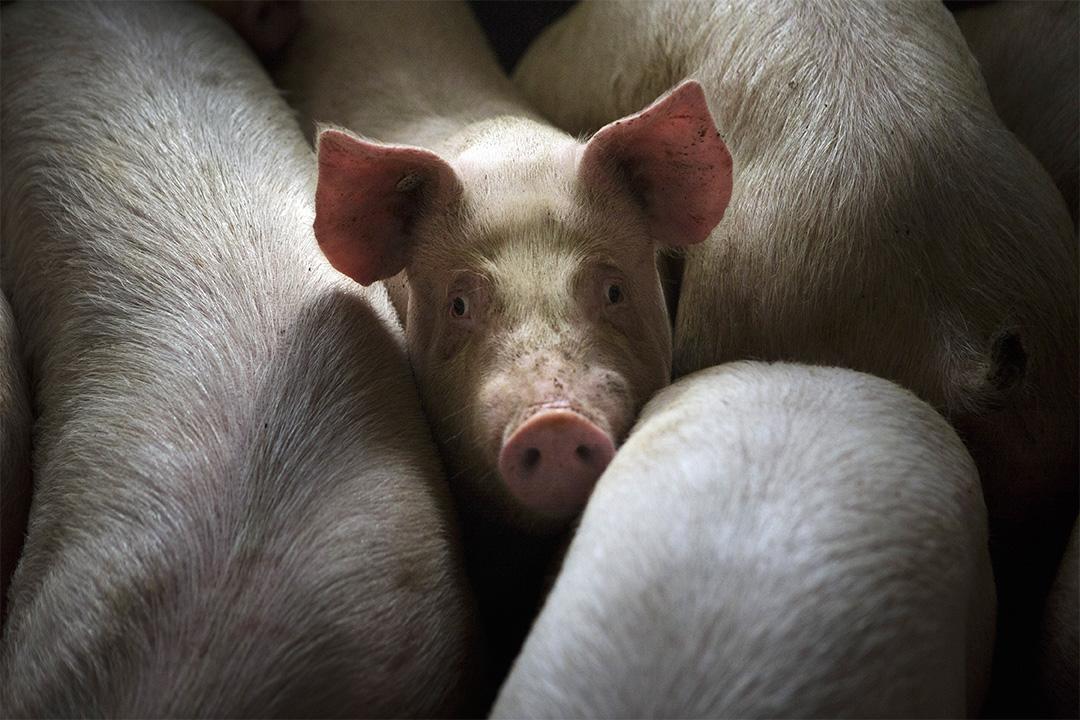 科學家在實驗室培育出人豬雜交胚胎,或將用於器官移植。