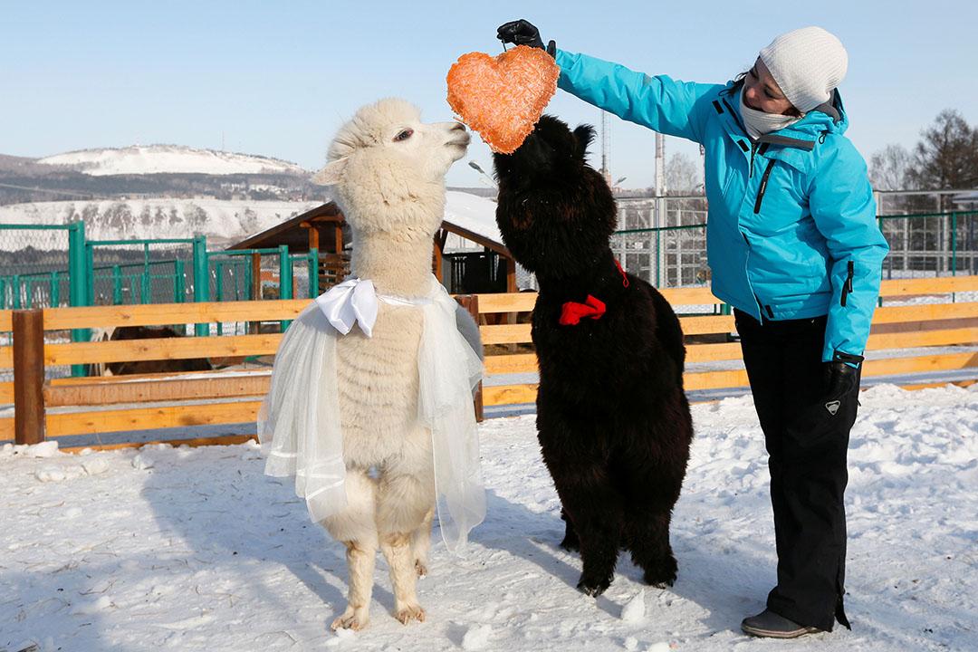 2017年2月14日,俄羅斯克拉斯諾亞爾斯克,當地動物園工作人員 Yelena Shabanova 製作一個心形蘿蔔,作為情人節禮物,送給園內的雄性羊駝Romeo (右) 及雌性羊駝 Juliette 。