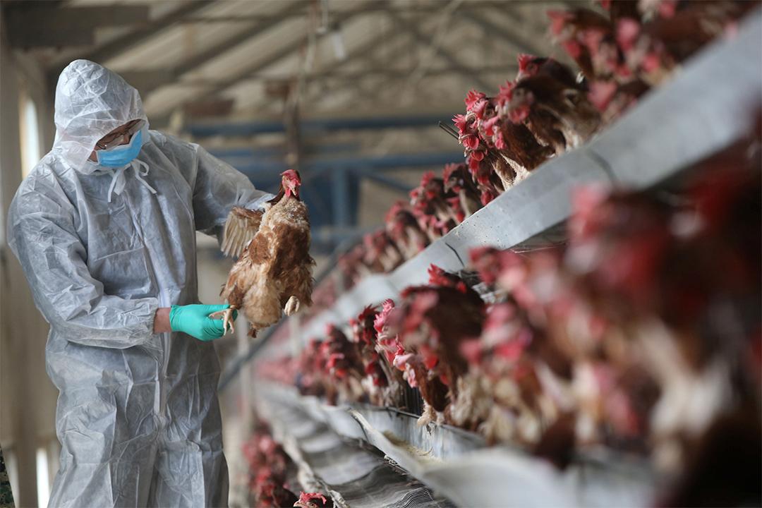 內地多個地方爆發H7N9禽流感,珠三角地區疫情最為嚴重。