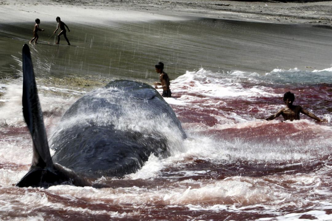 2007年3月5日,在東努沙登加拉的拉姆巴塔島(Lembata Distrik),一場傳統捕鯨行動中,被捕獵的鯨魚被拉到岸上。和商業捕魚不一樣,這裏的印尼村民數百年來維持著傳統的捕鯨方式,他們不用發射魚鏢和其他先進技術,只憑木船出海,用長毛插中鯨魚,再用繩索將之綁緊。這種捕鯨行動非常危險,是當地村民的生計來源。
