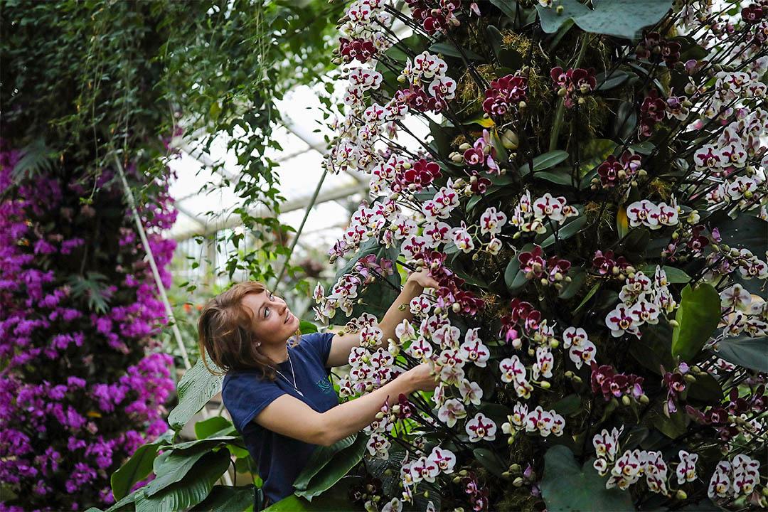 2017年2月2日,在英國皇家植物園內,植物園藝師正為2月4日開幕的蘭花節作準備。