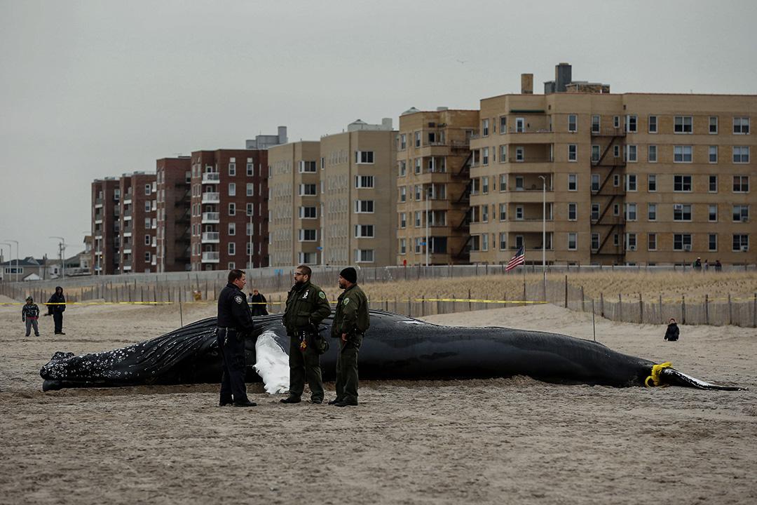 2017年4月4日,美國紐約,執法人員站已死的座頭鯨旁。