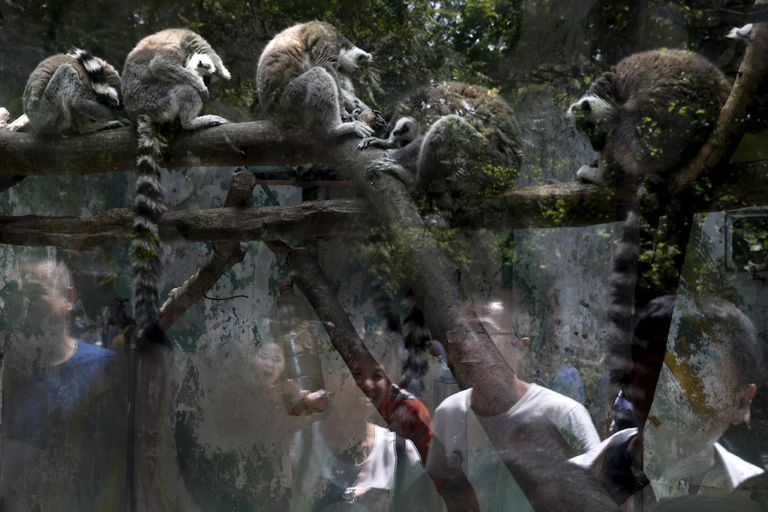 2017年5月1日,中國遊客在動物園裡觀看戒指狐猴,數百萬名中國遊客趁五一黃金週的三天假期參觀熱門的旅遊景點。
