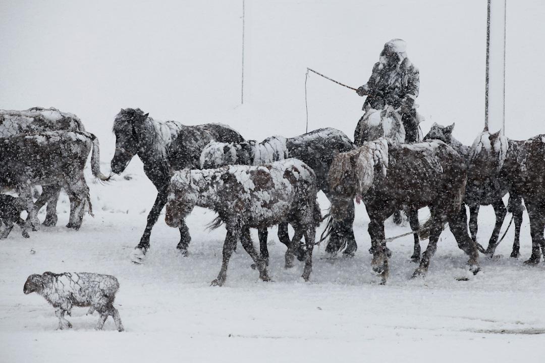 2017年5月2日,新疆罕見五月大雪,一名男子在雪中騎馬。