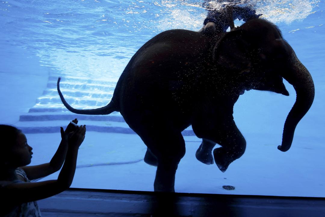 2017年6月1日,在泰國曼谷,一名女孩在動物園裡給正在游泳的大象和牠的馴象師拍照。