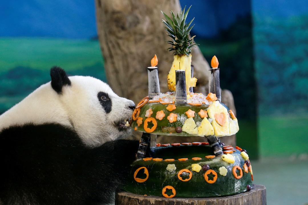 2017年7月6日,在台灣台北市立動物園,大熊貓「圓仔」正在進食由冰塊和水果製成的生日蛋糕,吃得津津有味。