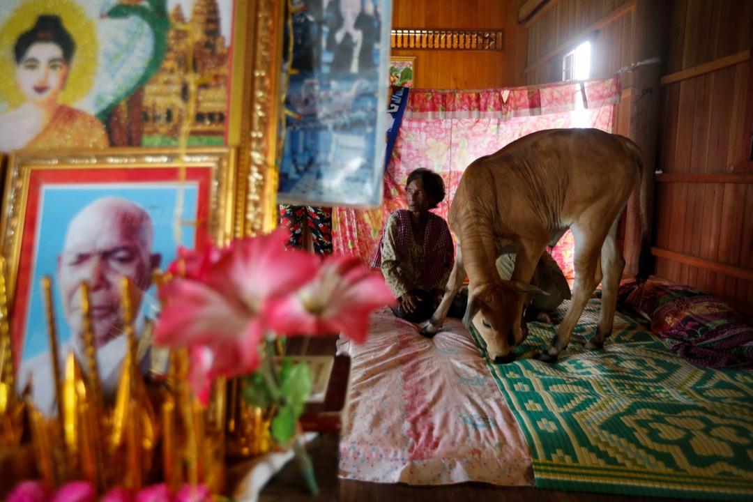 2017年7月18日,在柬埔寨桔井省,74歲的 Khim Hang 與一頭牛一起坐在她的睡房裡。她深信這頭牛就是她過了身的丈夫的化身。