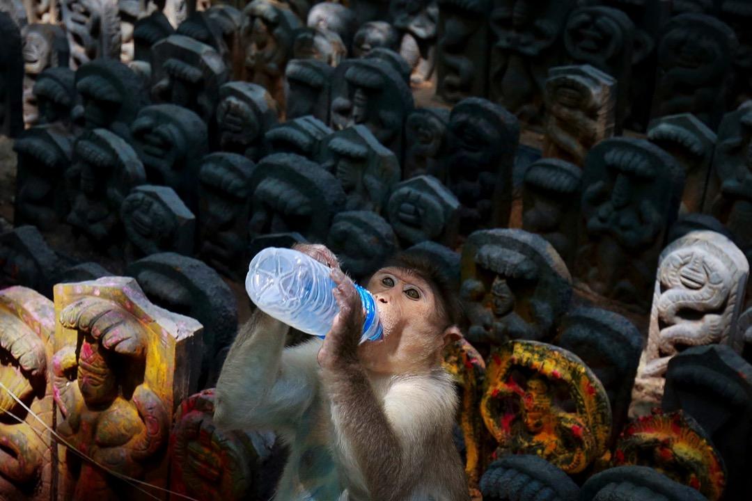 2017年7月27日,在印度班加羅爾,一隻獼猴坐在象徵蛇神的神像上,喝著印度教徒供奉的飲料