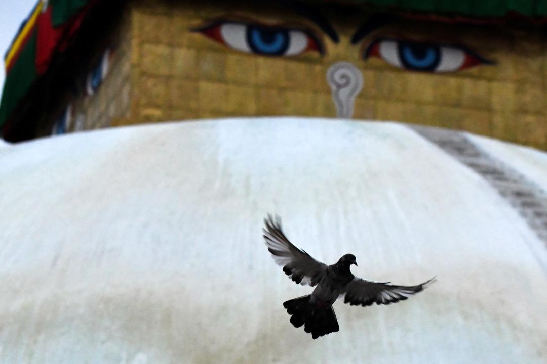 2017年8月1日,在尼泊爾加德滿都,一隻鴿子在博拿大佛塔的一雙佛眼前展翅飛翔。