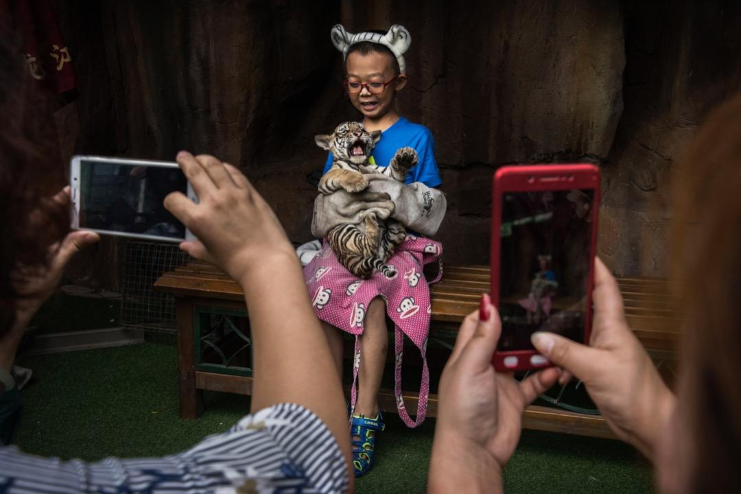 2017年8月16日,在中國哈爾濱,一名男孩戴著防禦手套,提著一隻西伯利亞虎與其拍照。