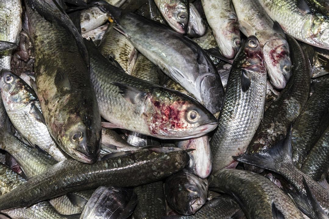 世界其他地區漁獲資源稀缺,且管制嚴格,讓西非成為兵家必爭之地。當地相對仍有豐富資源,卻也逐年下降。 攝:Pierre Gleizes / Greenpeace