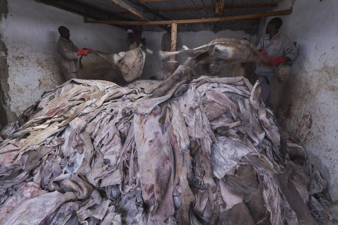 肯尼亞,金牛公司,工人正處理大量驢皮作出口用途。