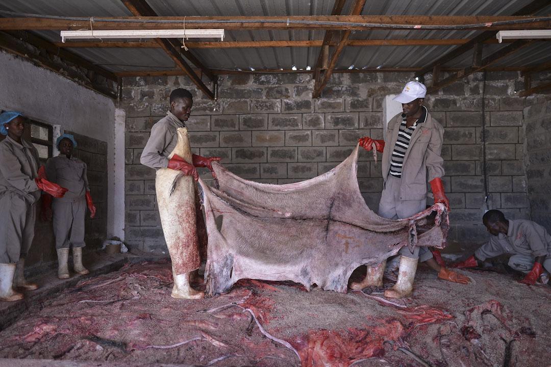 盧東林的金牛公司擁有肯尼亞政府頒發的屠宰許可,工人們正準備處理一張驢皮。市場最熱的時候,金牛公司一張驢皮可以賣到1400元人民幣。 攝:Tony Karumba /AFP/Getty Images