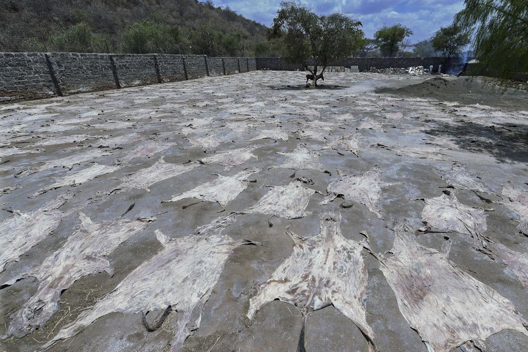 肯尼亞,金牛公司,塗滿鹽的驢皮正在陽光下曬乾。
