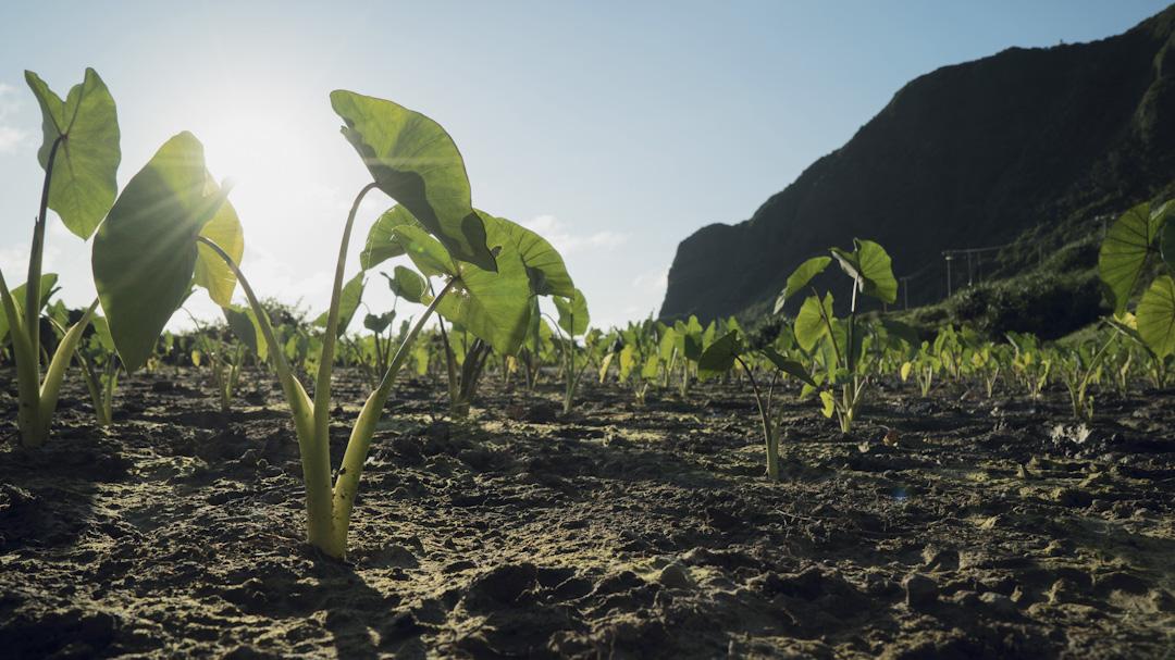 在達悟族傳統裡,兩個單身男女決定共組家庭之後,必須離開原生家庭,在附近找一塊地,蓋屬於自己的房子,開墾屬於夫妻自己的水芋田,這才能叫做成立了「另一個家」。圖為芋頭田。