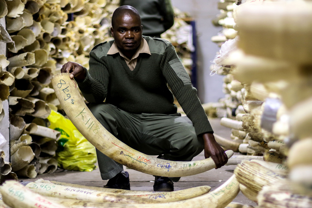 美國當局擬推翻前屆政府禁令,容許2016年至2018年間在津巴布韋及贊比亞合法打獵所得的非洲象「戰利品」進口美國。圖為津巴布韋國家公園一名手持象牙的管理人員。 攝:Jekesai Njikizana / Getty Images