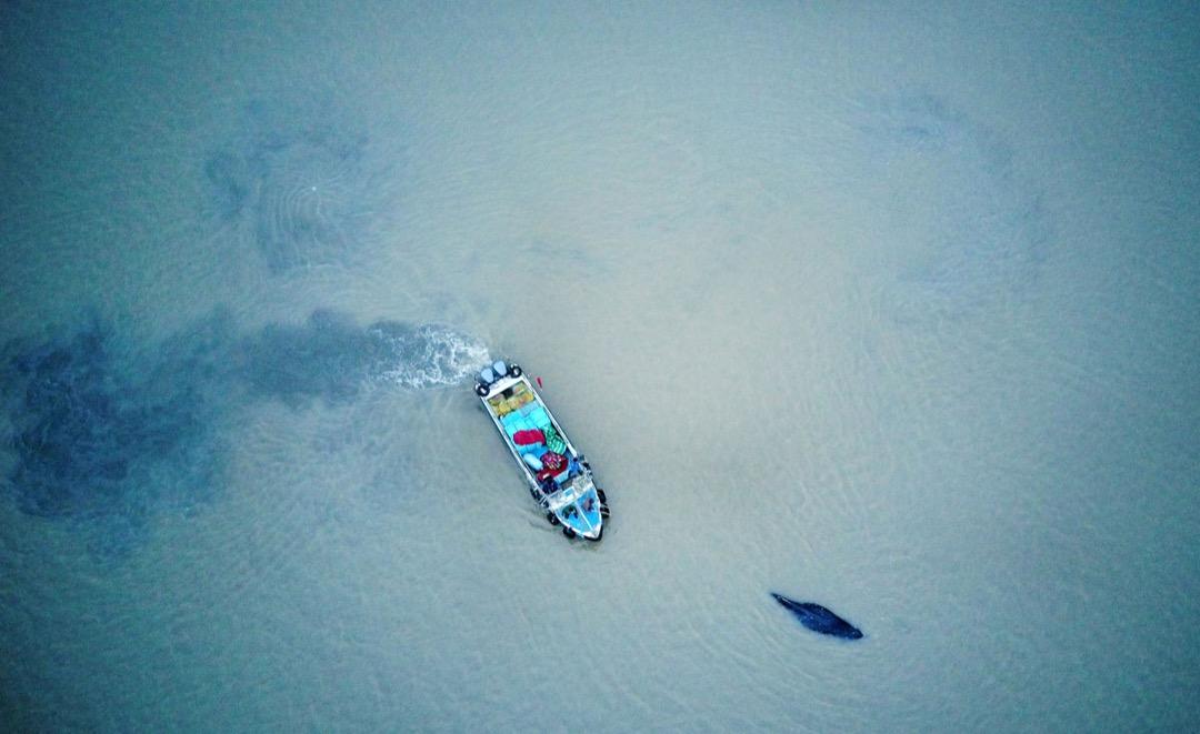 2017年11月13日,中國江蘇省啓東市對出海面有座頭鯨擱淺,一艘船正引導座頭鯨回到深水海域。