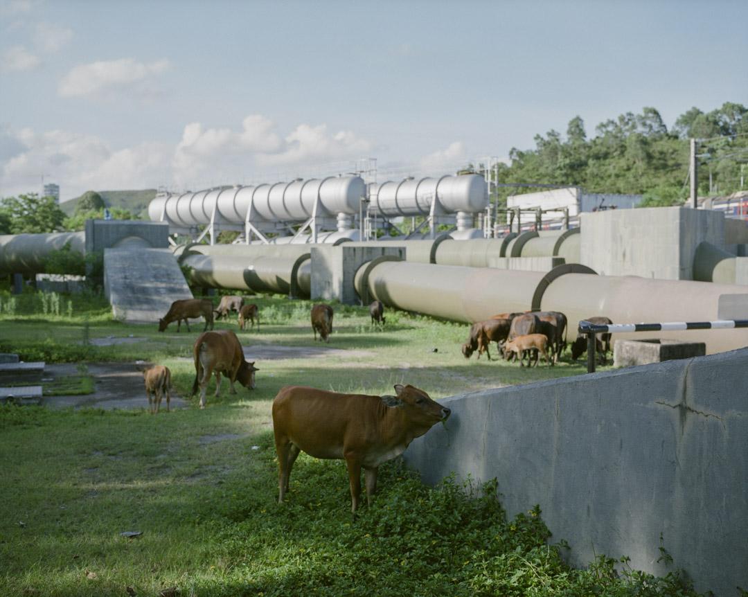 2017年8月,上水牛群在東江水管前的草地上吃草。