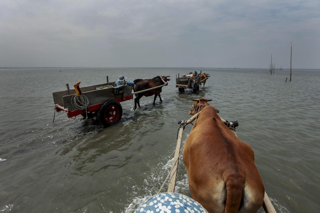 2010年,彰化海岸蚵民仍保留牛車出海載運牡蠣作業的傳統。 攝影:柯金源