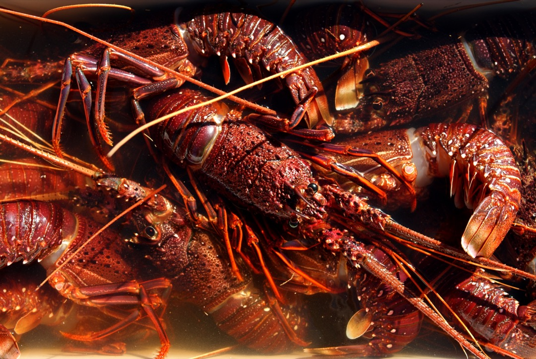 瑞士政府1月10日通過修正《動物保護法》的決議,其中禁止烹飪龍蝦等甲殼類動物時將其放入沸水中灼熟,要求殺死前需先電擊或破壞蝦頭致其無意識。  攝:Eye Ubiquitous/UIG via Getty Images