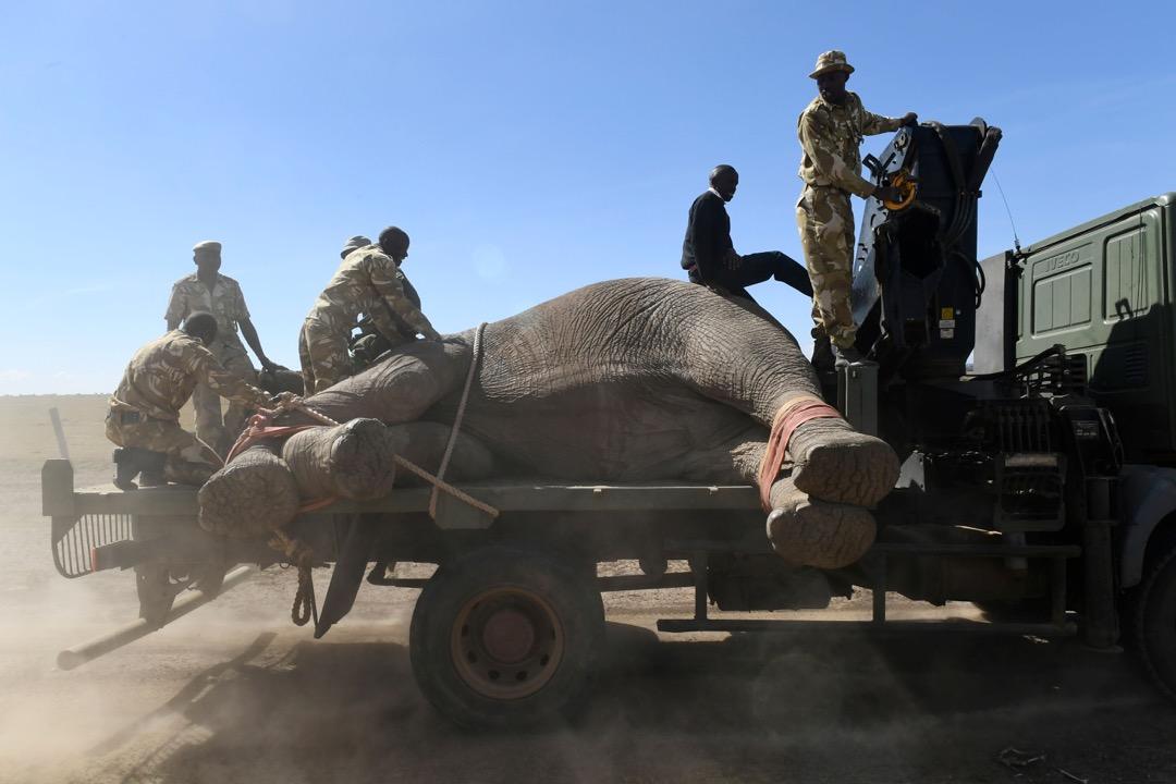 2018年2月21日,肯尼亞,國家公園內的野生動物護林員正在運送一頭大象。