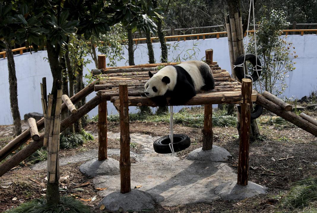 2018年1月30日,一隻大熊貓在中國黃山熊貓生態公園內玩耍。 攝:VCG/VCG via Getty Images