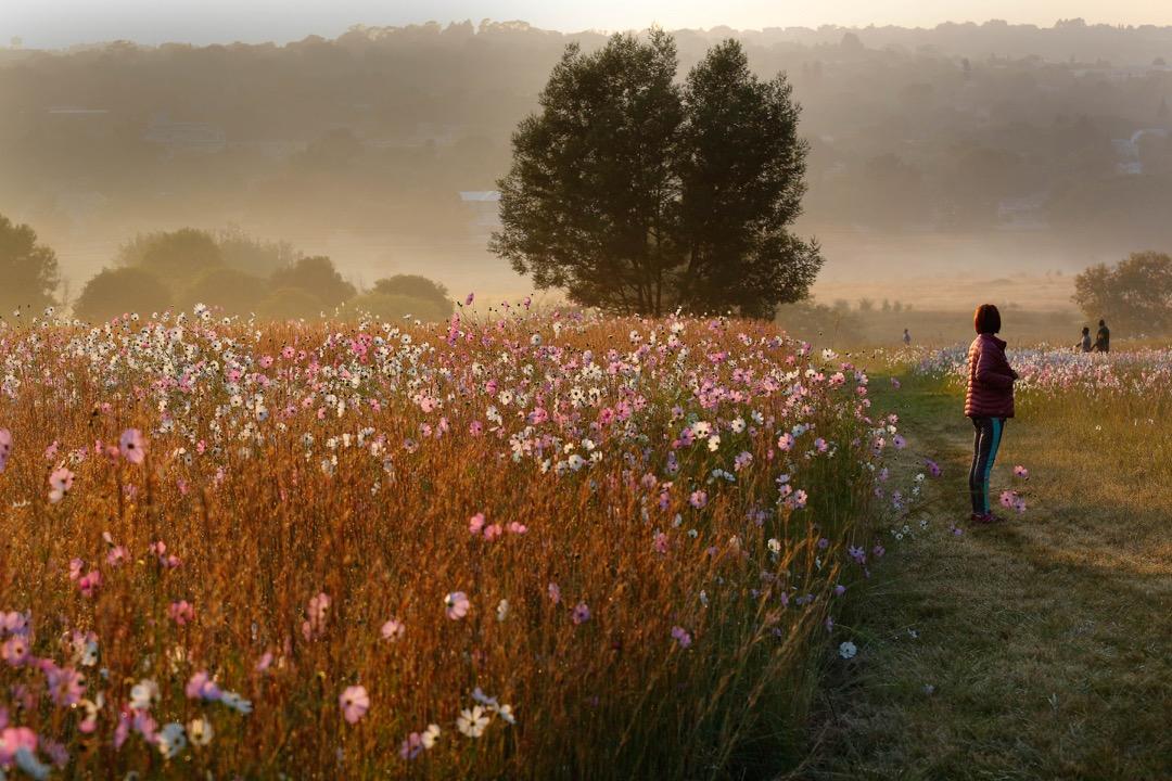 2018年3月28日,南非約翰內斯堡,波斯菊花於三角洲公園盛開,標誌著秋天的來臨。民眾於日出時分到公園觀賞。