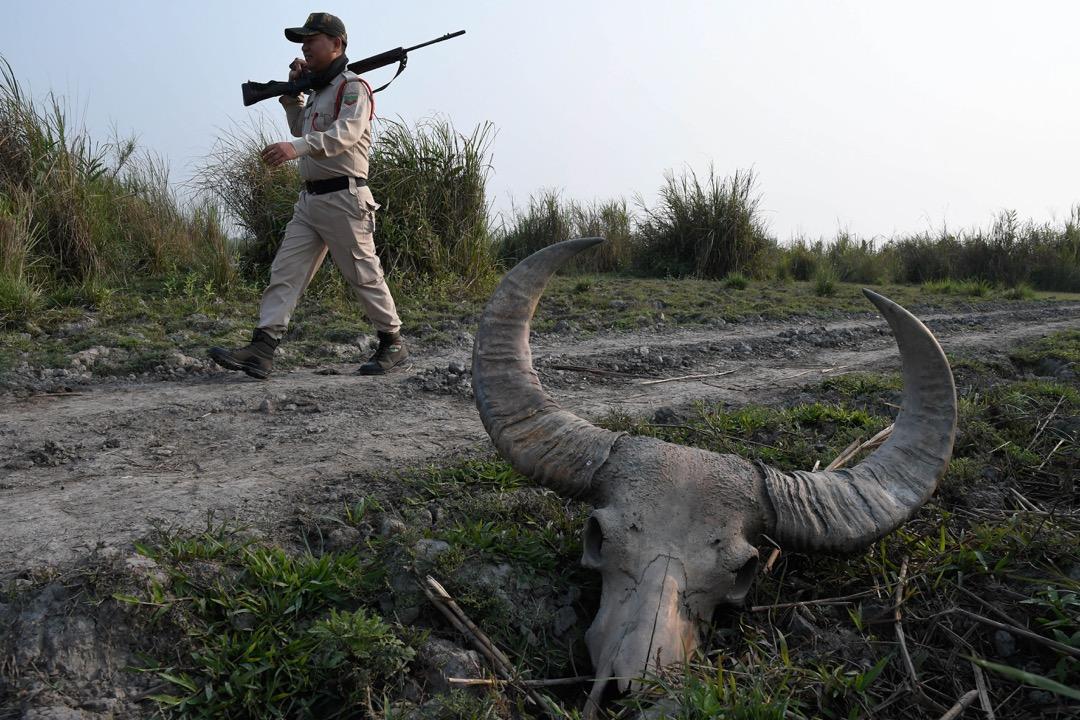 2018年3月26日,印度阿薩姆邦城鎮博卡卡特,一名卡齊蘭加國家公園的護林員行經一頭水牛頭顱骨。印度當局動員300名政府和非政府組織人員,展開維期兩天的犀牛普查。