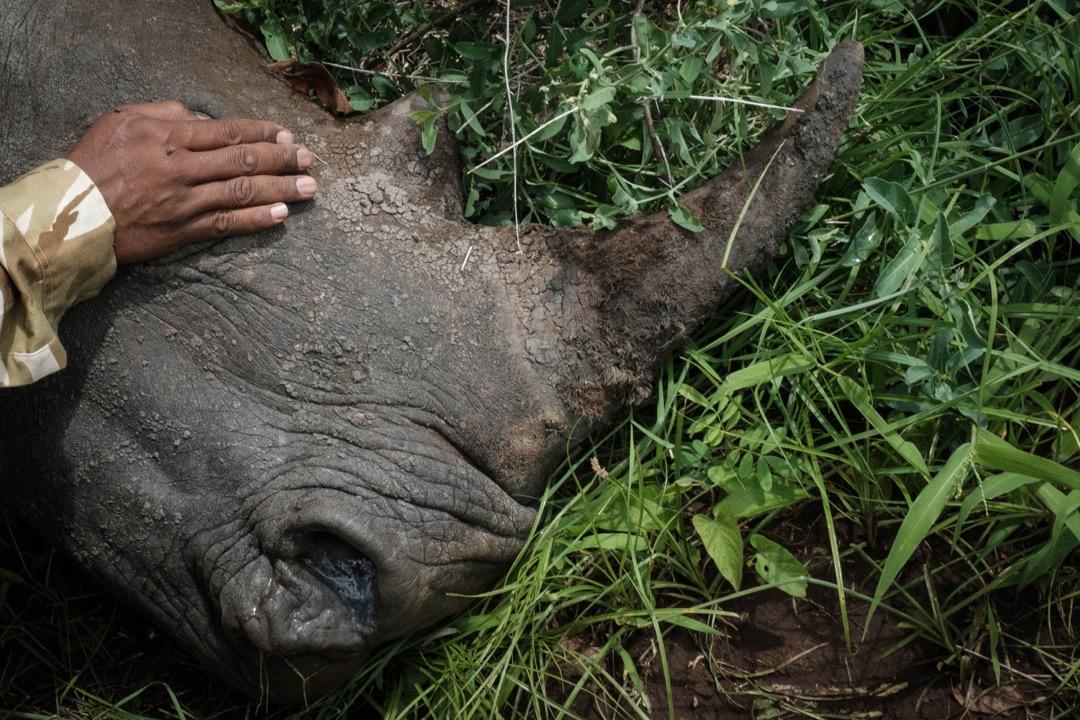 2018年4月5日,肯尼亞梅魯國家公園,一名護林員蓋著剛注射鎮靜劑的4歲女性白犀牛Abby的眼睛。