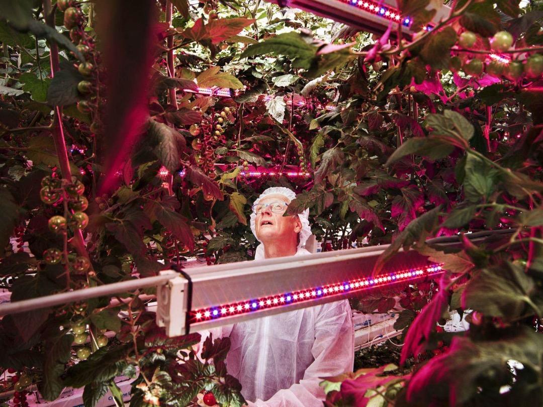 2016年10月17日,荷蘭Delphy Improvement Centre,植物科學家Henk Kalkman在視察番茄在不同光譜和光度下的生長情況。