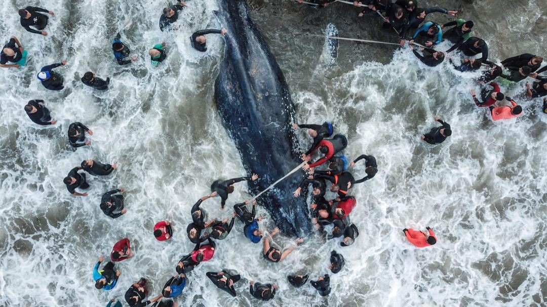 2018年4月9日,阿根廷城市馬德普拉塔,救護員和當地居民協助一條擱淺的鯨魚回到海裡,無奈鯨魚最後失救死亡。