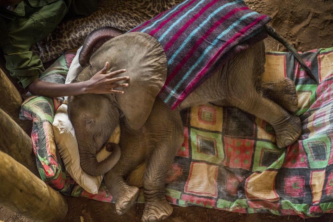 2017年2月23日,肯尼亞Reteti大象保護區,Joseph Lolngojine曾經是桑布魯族勇士,現在是一名大象護理員。他正在照顧一隻剛拯救回來的小象Kinya。