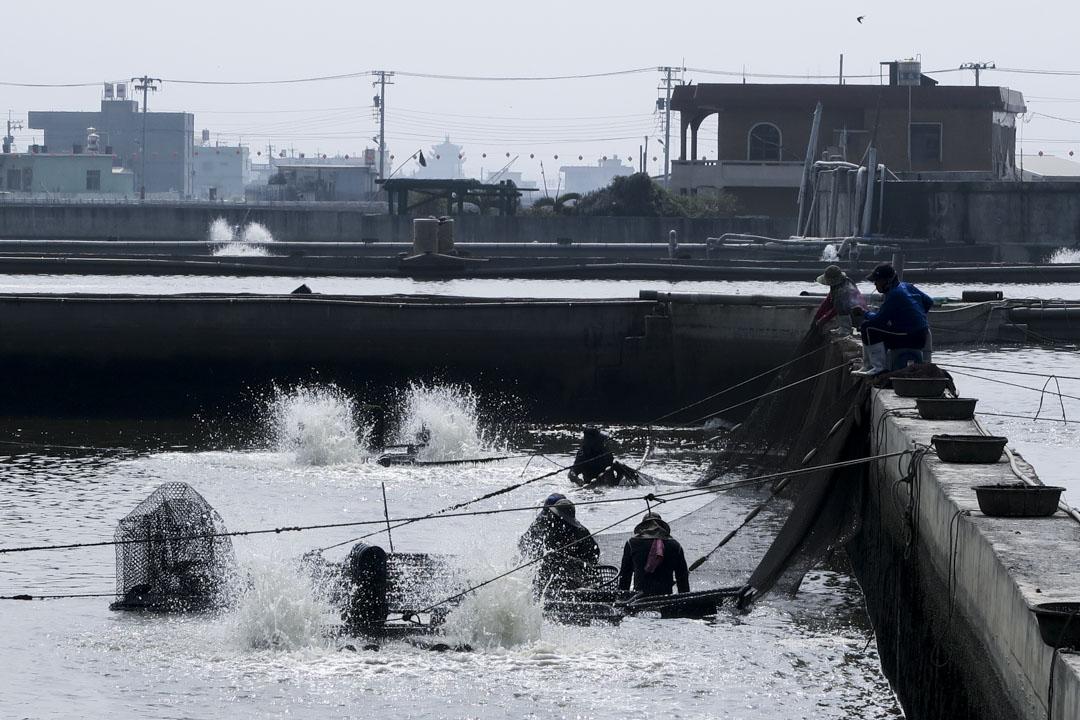 2008年,兩岸的第一次開放紅利,石斑魚曾經優游其中,但隨著中國大陸本土業者加入競爭、政治經濟情勢變遷,想再回到「美好的2008年」幾乎是不可能的事。